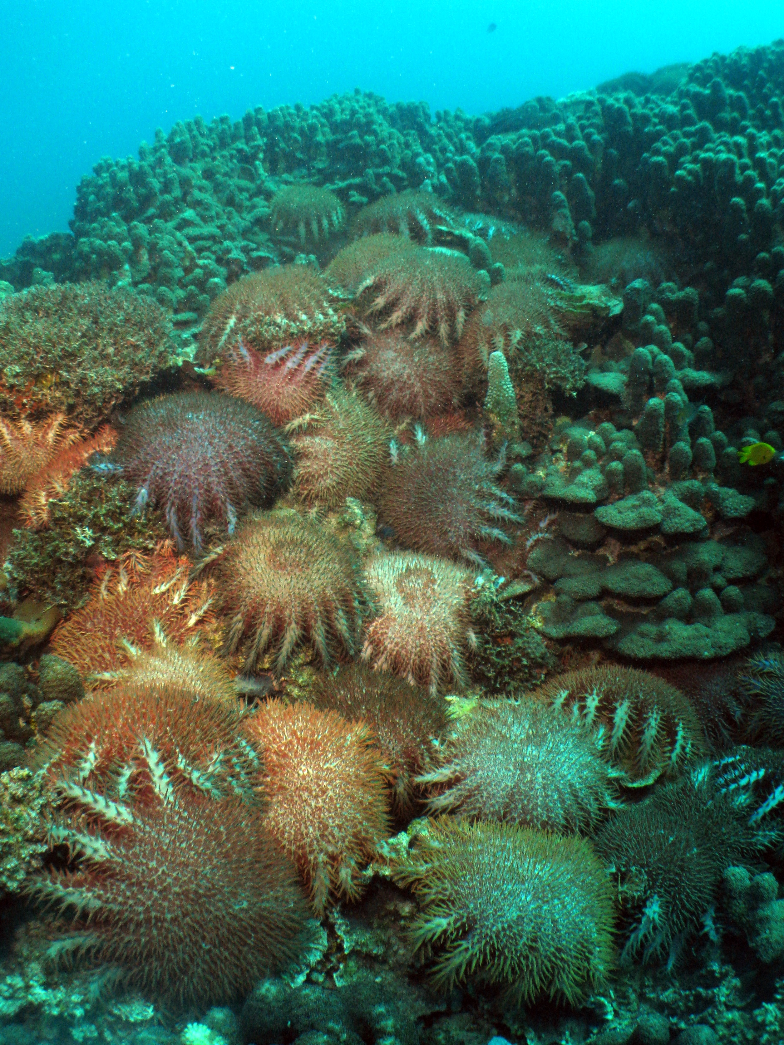 Expedition To The Kimberly Coast North West Atlas Snake Skeleton Diagram Images Pictures Becuo Multiple Adult Cots Feasting On Corals During An Outbreak